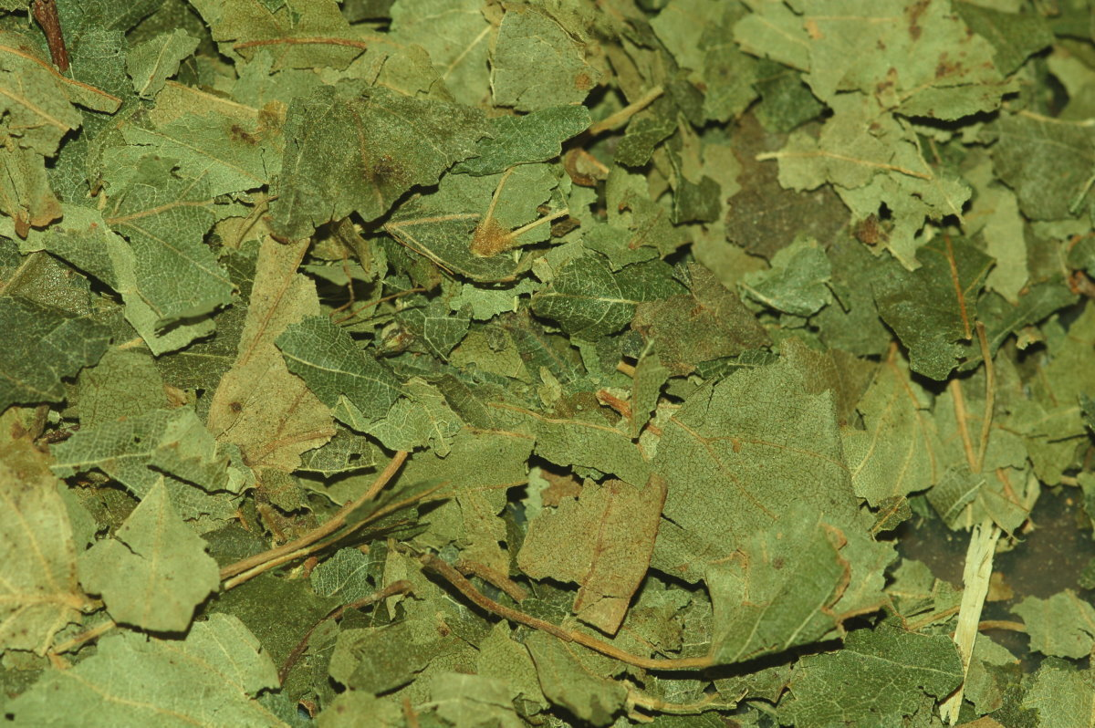 Birkenblätter geschnitten 3 kg